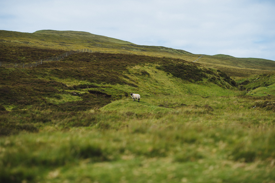 Isle of Skye Sheep